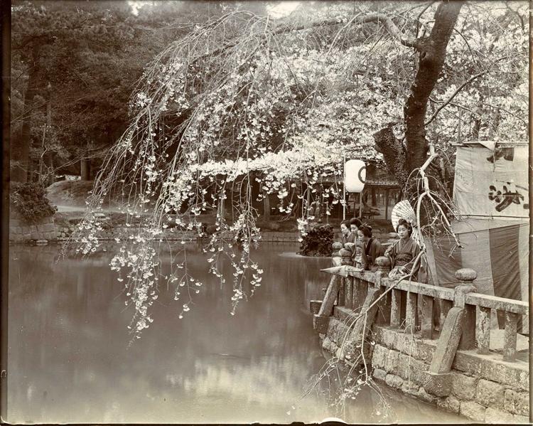 Цветение вишни в парке Шеба, Токио.jpg