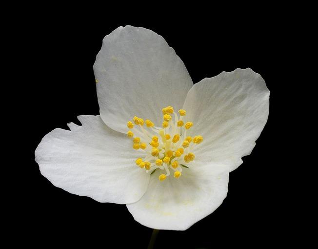 Чубучник - цветок.jpg