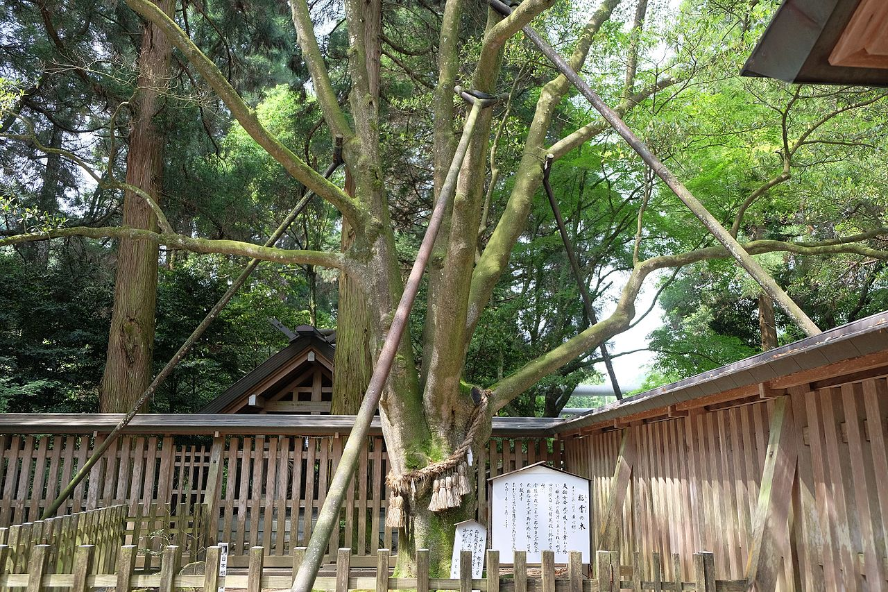 天岩戸神社の招霊の木_-_panoramio.jpg