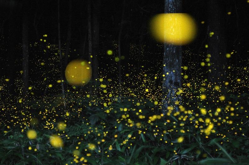 1-Лес светлячков в Японии от Цунеяки Хирамацу.jpg