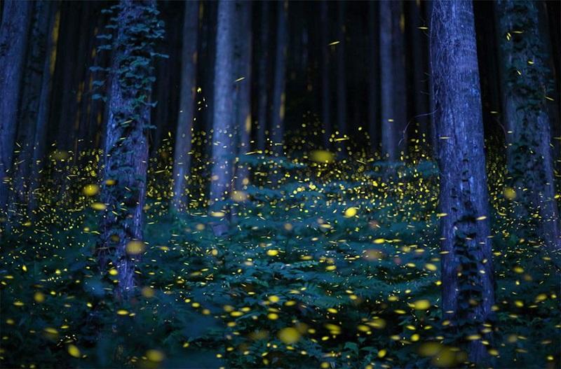 11-Светлячки в лесу - завораживающее зрелище в Японии.jpg