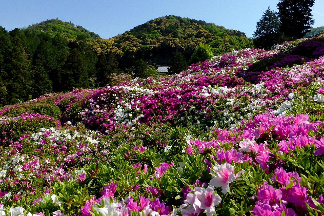 1280px-Mimuroto-ji,_Rhododendron_-1_(May_2011)_-_panoramio.jpg