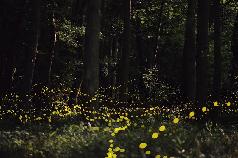13-Лес светлячков в Японии.JPG