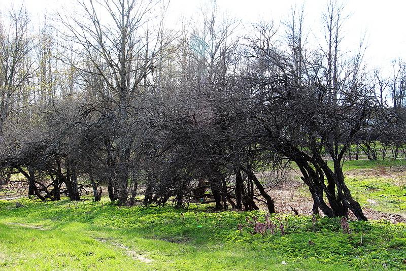 133. Старые яблони.jpg
