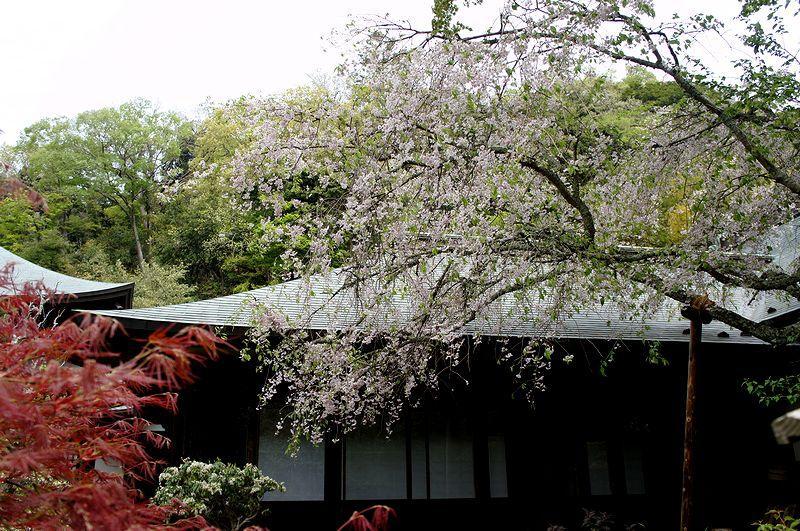 136.Дзуйсэн-дзи.Передний сад, Зимняя вишня.JPG
