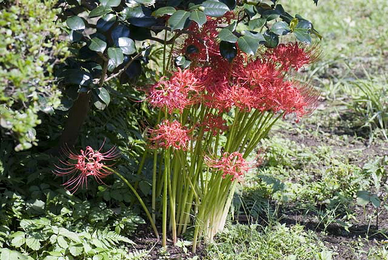 137.Дзуйсэн-дзи.Передний сад, ликорис.jpg