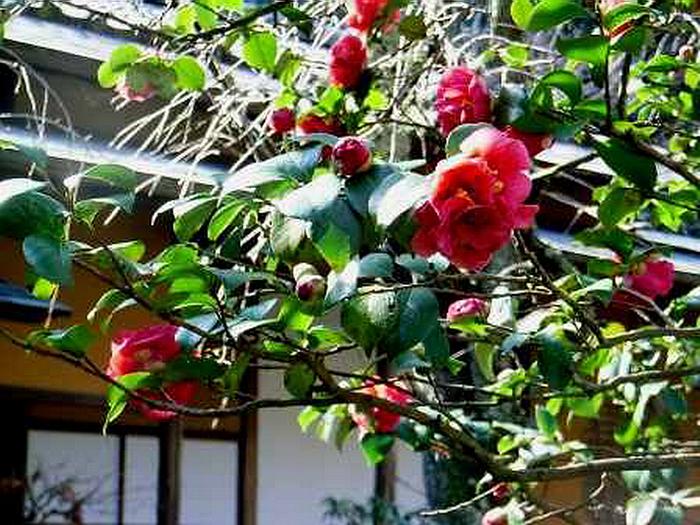 139.Дзуйсэн-дзи.Передний сад, камелия у жилого помещения для монахов.jpg