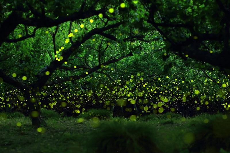 14-Светлячки в лесу от Такааки Ишикава, город Нагоя, Япония.jpg