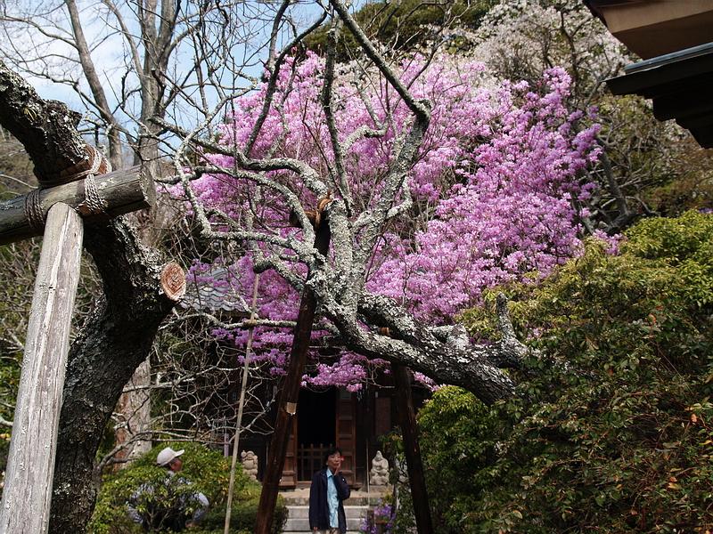 145.Дзуйсэн-дзи.Храм Дзидзо-до,рододендрон.jpg