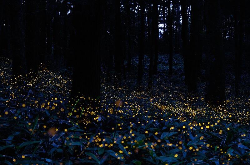 15-Сказочное фото светлячков в японском лесу от Цунеяки Хирамацу.jpg