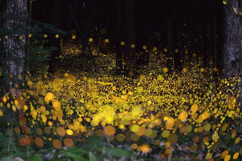 19-Потрясающее зрелище - светлячки в японском лесу от Цунеяки Хирамацу.jpg