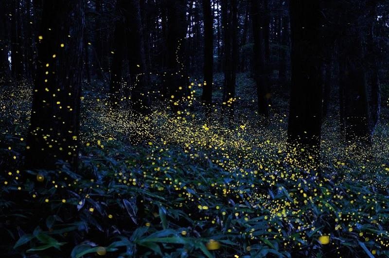 2-Сказочный лес светлячков от Цунеяки Хирамацу.jpg