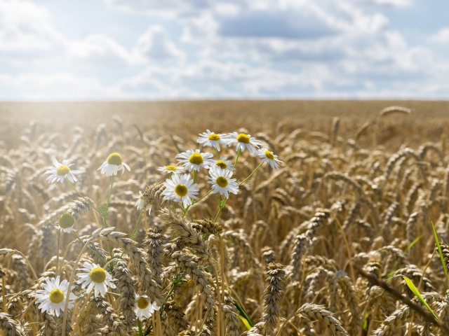 2017Nature___Fields_Camomiles_grow_on_the_field_of_yellow_wheat_117568_29.jpg