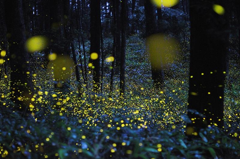 21-Светлячки - магия японского леса.jpg