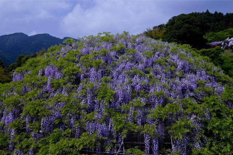 23-Kawachi Fuji Garden.jpg