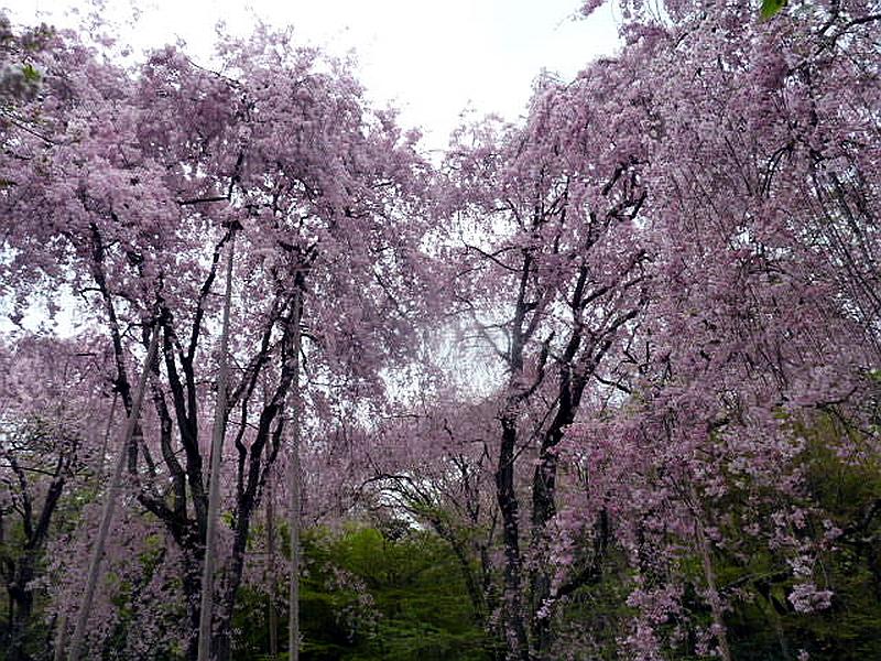 255.Рёан-дзи.Вишнёвый сад.jpg