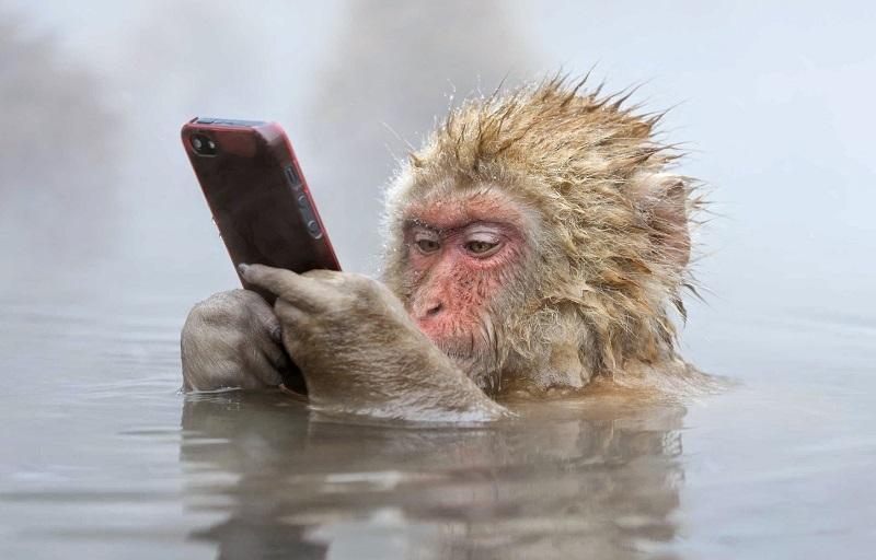 28-Макака в парке снежных обезьян изучает мобильный телефон.jpg