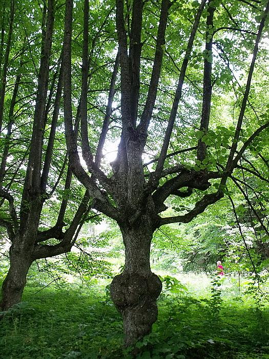 299.Деревья аллеи.jpg