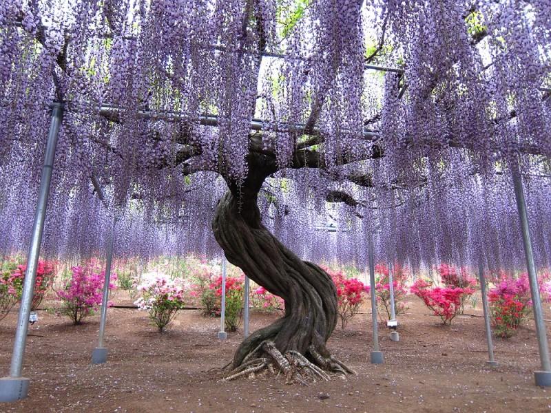 4-Kawachi Fuji Garden.jpg