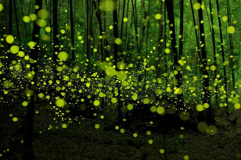 5-Светлячки в японском лесу в городе Нагоя (фотограф - Такааки Ишикава).jpg