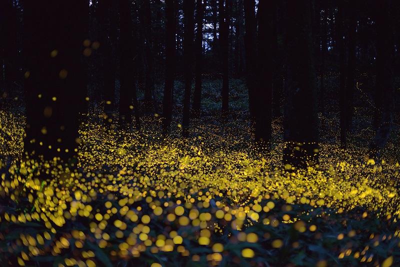 6-Поляна в лесу, покрытая ковром из светлячков.jpg