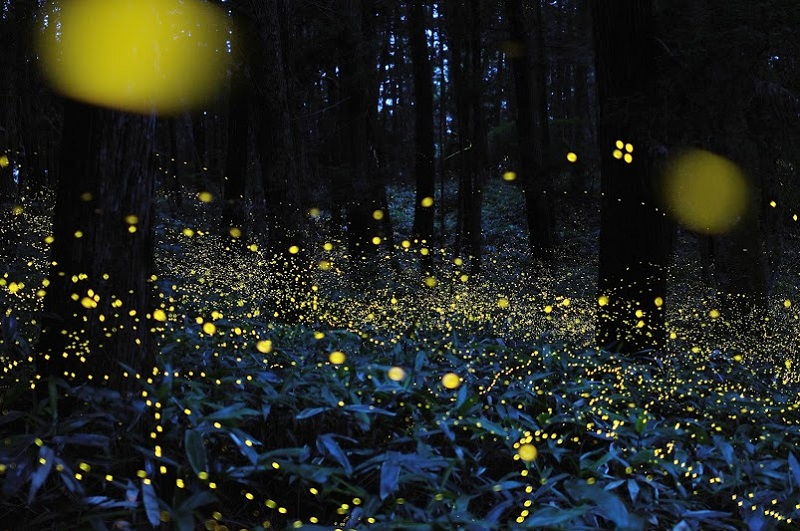 8-Лес светлячков в японской префектуре Окаяма от Цунеяки Хирамацу.jpg