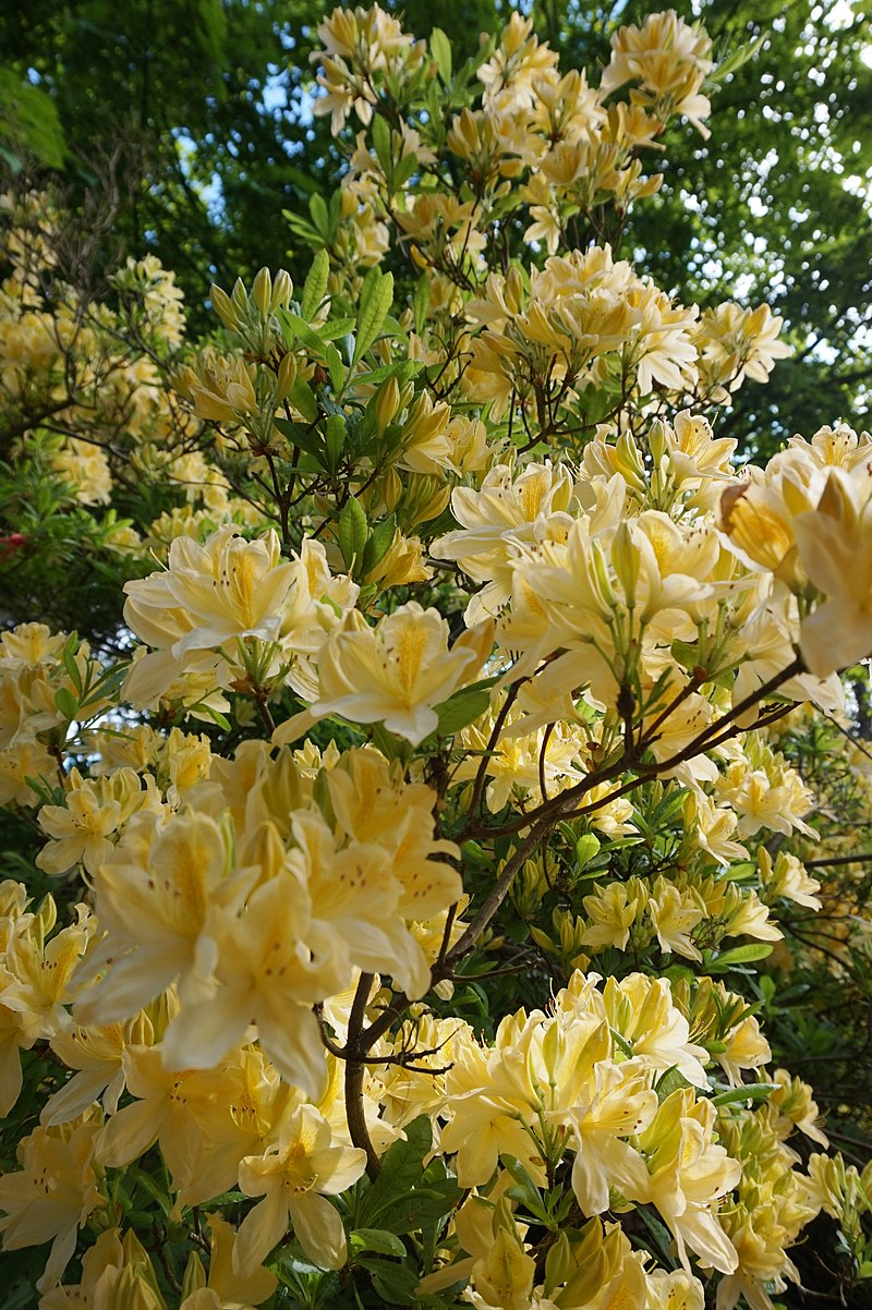 800px-Rhododendron_Y1.jpg