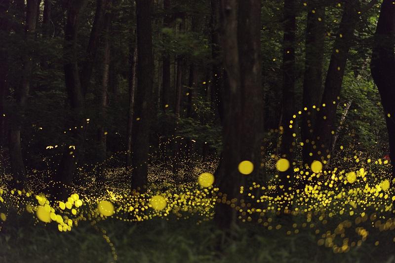 9-Светлячки в лесах Японии в объективе Цунеяки Хирамацу.jpg