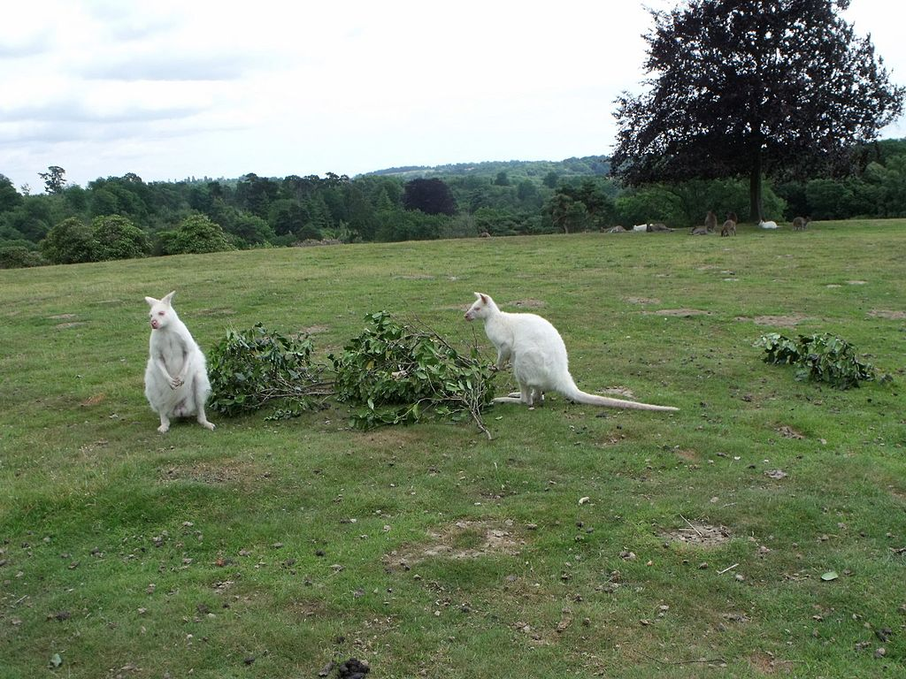 Albino_wallabies_at_Leonardslee,_West_Sussex_(geograph_1957650).jpg