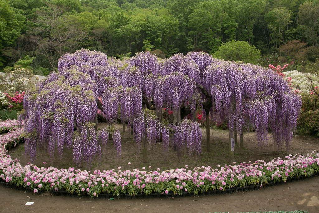ashikaga-flower-park-wisteria.jpg