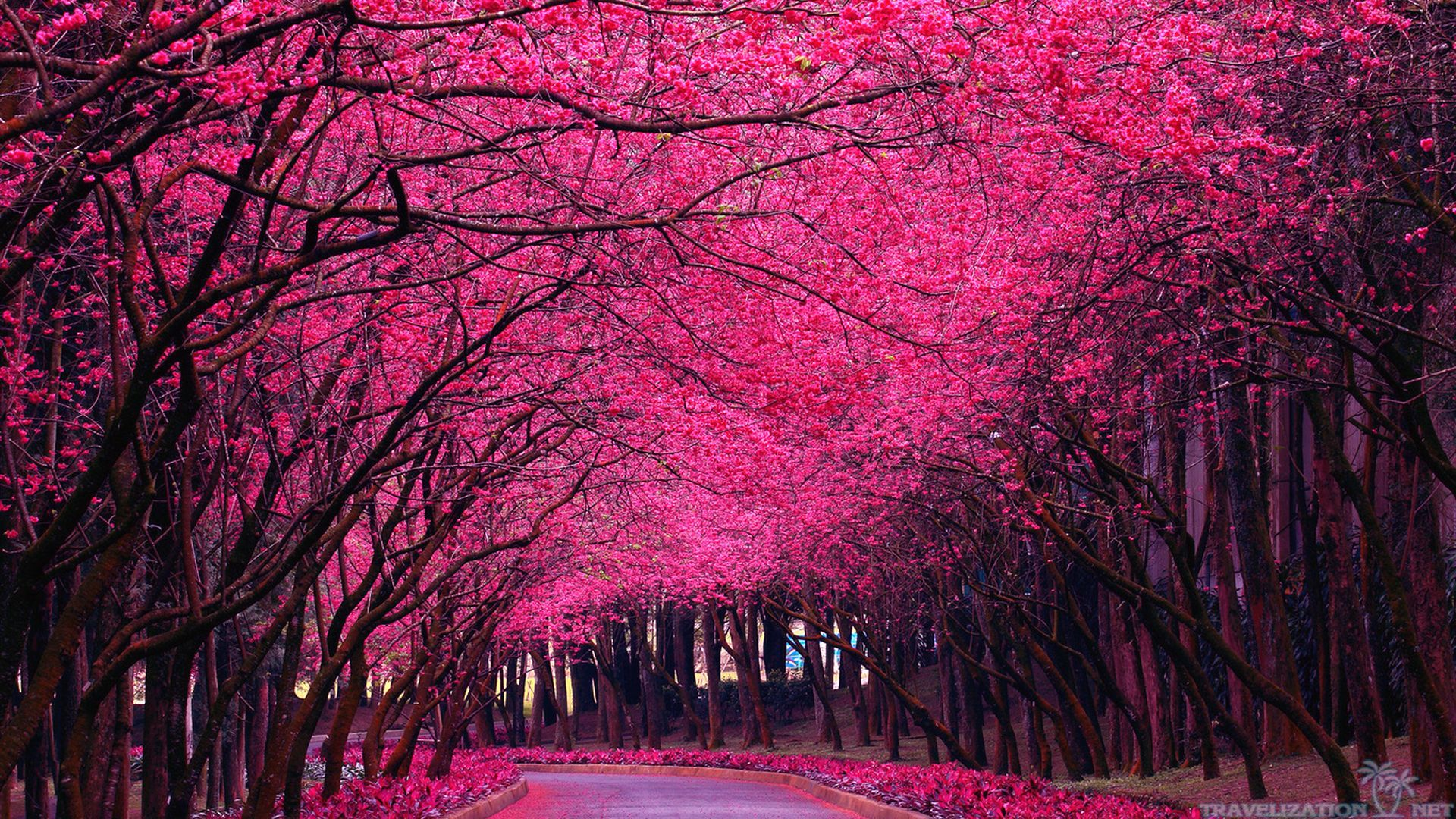 bright-pink-trees-spring-blooming-wallpapers-1920x1080.jpg