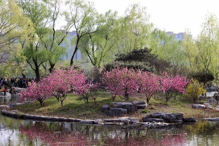 cherry-blossoms-yuyuantan-park-8.jpg