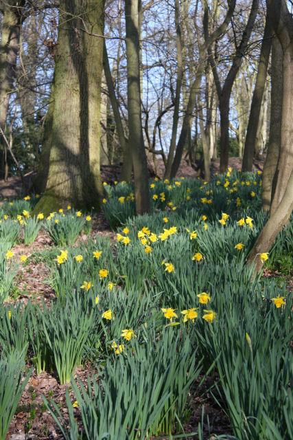 Daffodils_in_Ickworth_Park_-_geograph.org.uk_-_1210941.jpg