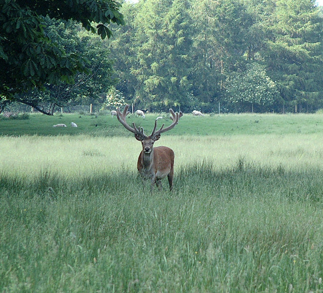 Deer_-_geograph.org.uk_-_19788.jpg