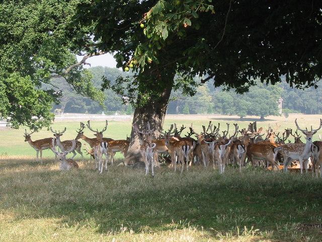 Deer_in_park_at_Holkham_Hall_-_geograph.org.uk_-_105416.jpg
