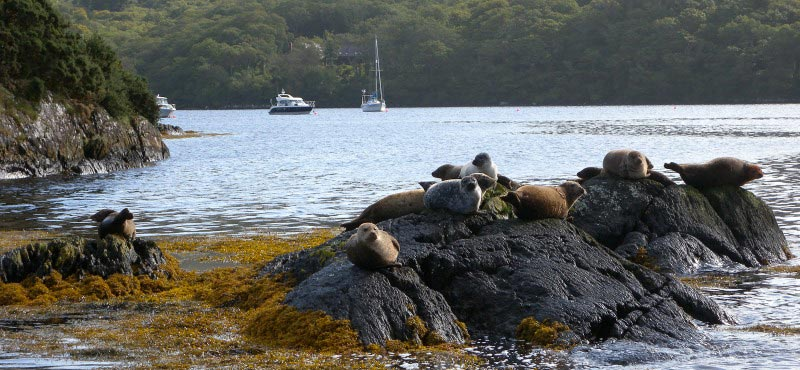 garnish-island-common-seals.jpg