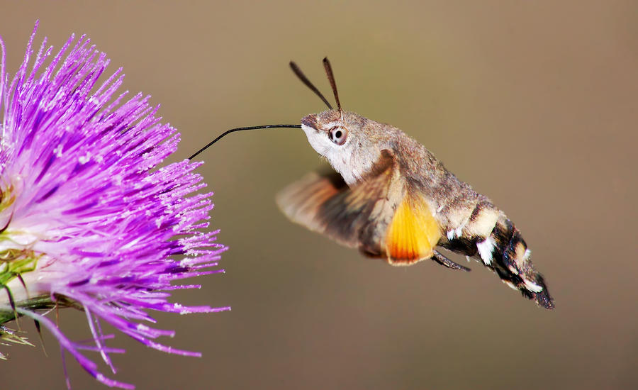 hummingbird-hawk-moth-mircea-costina.jpg