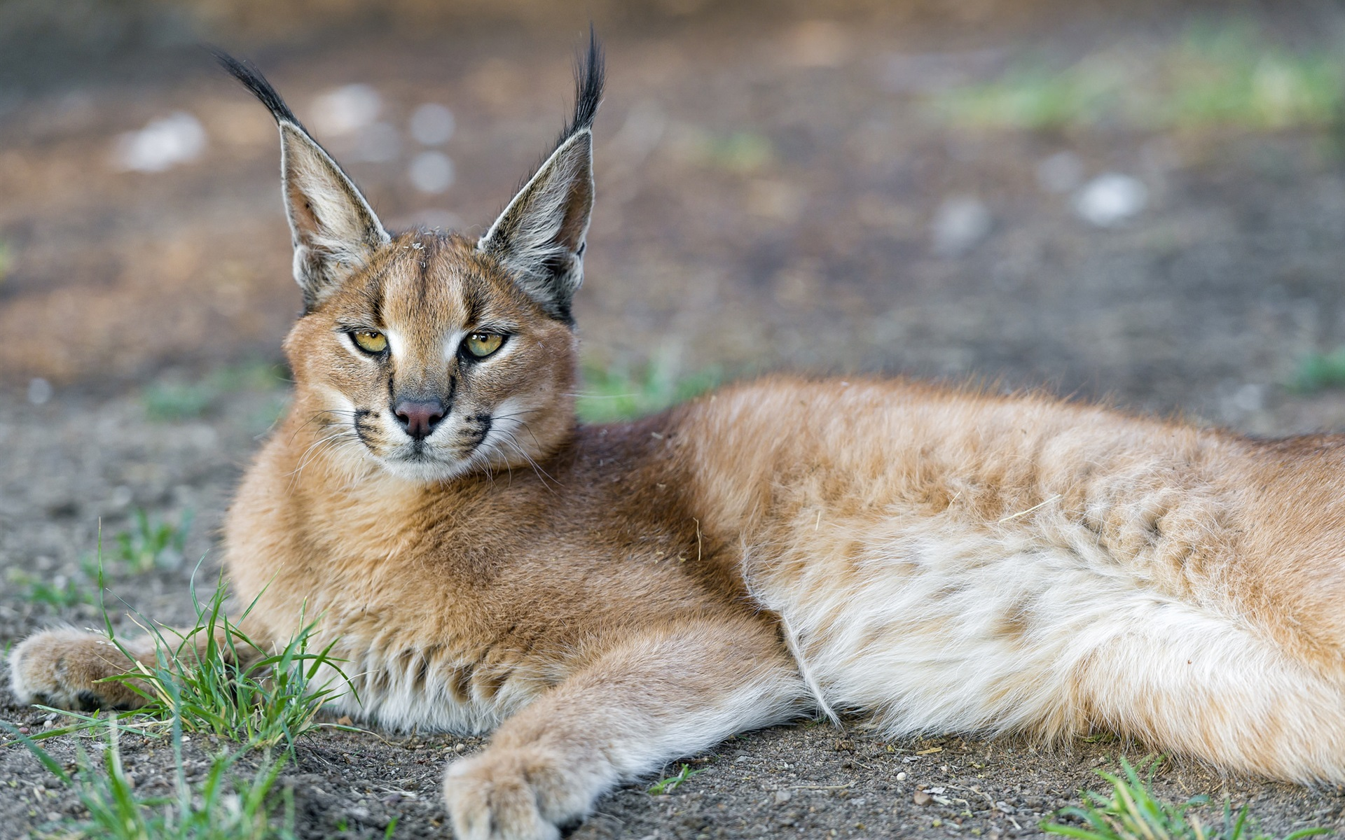 Lynx-predator-face-yellow-eyes_1920x1200.jpg