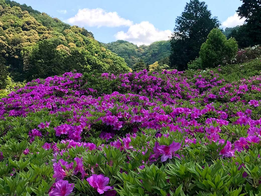 MimurotojiAzarea09.jpg