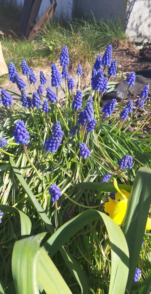 Mouse hyacinth.jpg