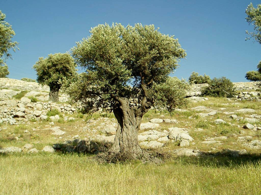olive-tree-live.jpg