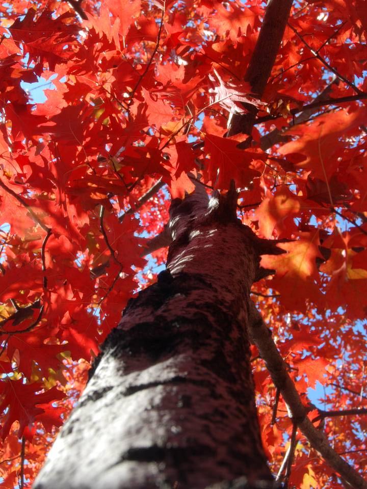 QuercusRubra_06.jpg