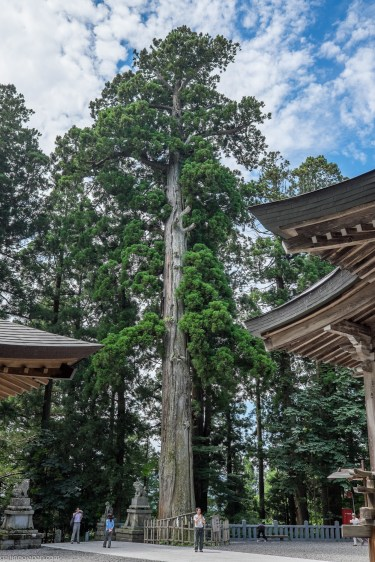 Sacred-Tree-at-Togakushi-Shrine.jpg