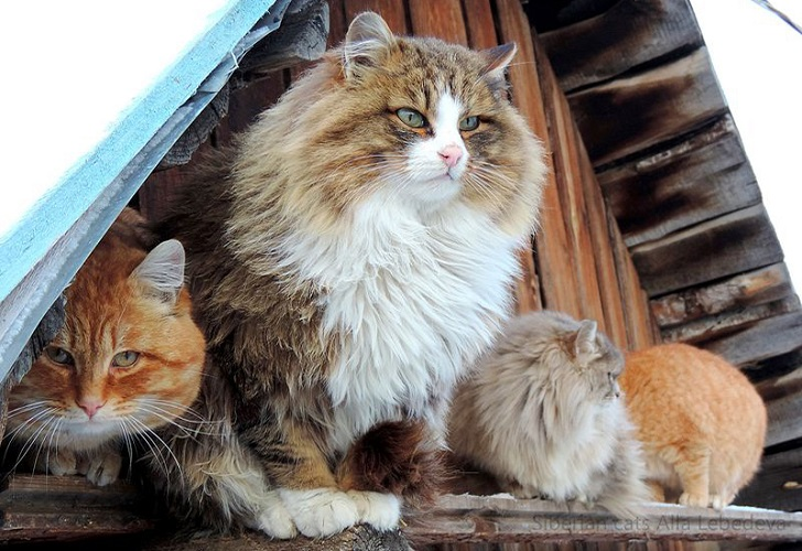 Siberian-Cats_photo-Alla-Lebedeva151.jpg