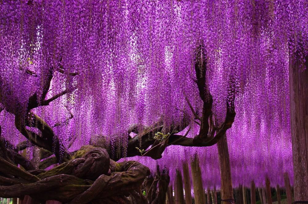Wisteria-Tree-Ashikaga-Flower-Park-Japan.jpg